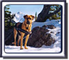 Ebbey the Search Dog photo, a Rhodesian Ridgeback cross with a black muzzle.