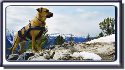 Ebbey the search dog on top of a Mountain