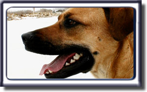 With her mouth open happily, and walking on a white field, Ebbey loves to be out on a search.  She is a reddish tan colored Rhodesian ridgeback cross with a black muzzle, dark ears and black circled eyes.
