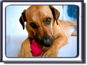 Ebbey plays with a red Kong Dog Toy.  She is a reddish tan colored Rhodesian ridgeback cross with a black muzzle, dark ears and black circled eyes.