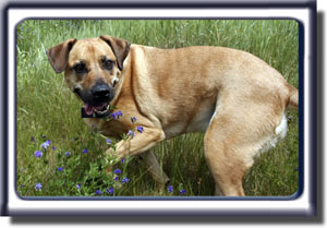 Ebbey turns in a meadow.  She is a reddish tan colored Rhodesian ridgeback cross with a black muzzle, dark ears and black circled eyes.